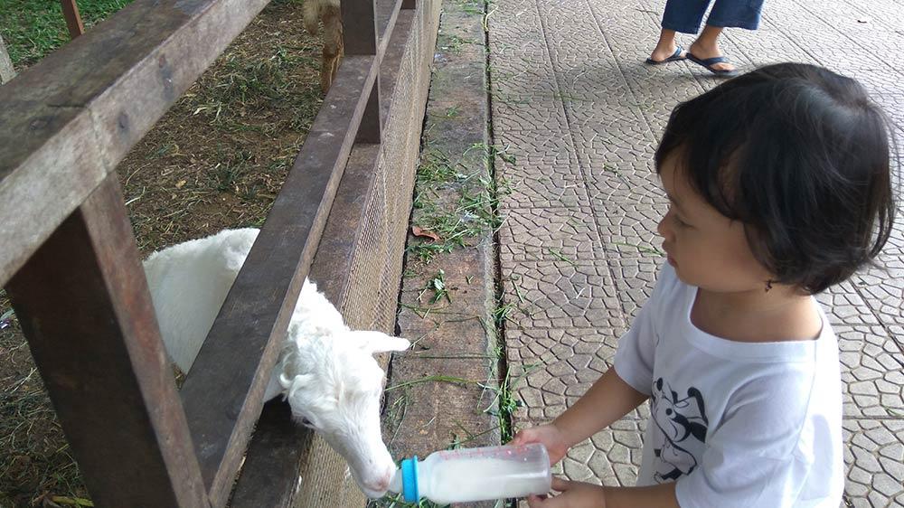 memberi susu kambing di kuntum farmfield